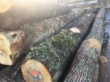 Forest And Logs France - 30+ cm Oak Saw Logs from France