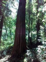 Tronchi Da Triturazione - Compro Tronchi Da Triturazione Central America