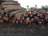 Forest and Logs - Fresh Southern Yellow Pine Saw Logs, 14+ cm