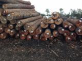 Bossen En Stammen Noord-Amerika - Zaagstammen, Southern Yellow Pine