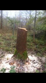 Ireland Hardwood Logs - Hurley ash log's