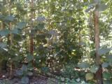 Лес И Пиловочник Южная Америка - Эквадор, Тик