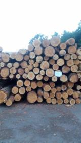 Softwood  Logs - fresh pine sawn logs