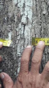 Standing Timber - Basralocus Standing Timber from Ecuador