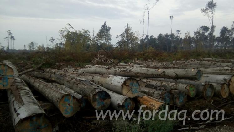 Oak-Standing