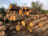 Hardwood Logs Suppliers and Buyers - 45+ cm Oak Saw Logs from Romania