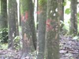 Lemn pe picior - Cocobolo Palissander De Vanzare in San Salvador