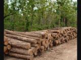 Standing Timber - Gmelina Standing Timber from Colombia