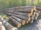 Forest and Logs - WHITE OAK LOGS