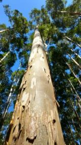 Лес И Пиловочник Южная Америка - Бразилия, Евкалипт