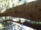 Blackwood Acacia ( Acacia Melanoxylon) Logs
