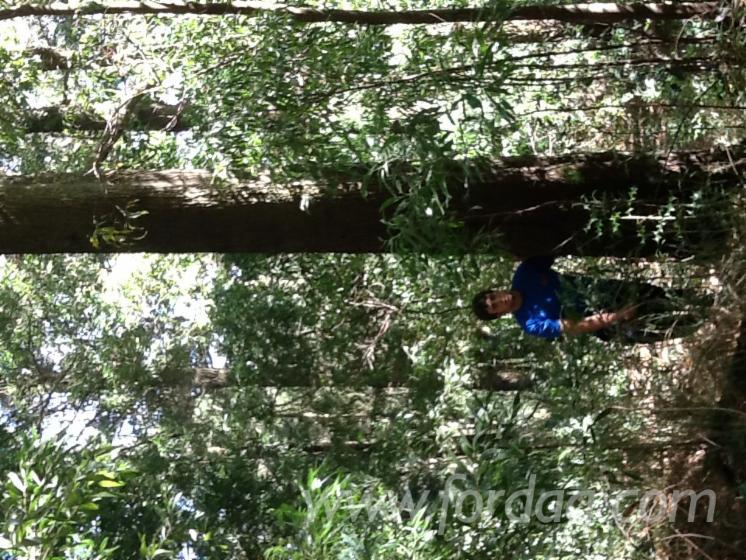 Blackwood Acacia Acacia Melanoxylon Logs