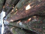 锯木, 硬枫