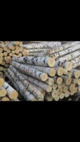 Belarus Hardwood Logs - 18+ cm Birch Saw Logs from Russia