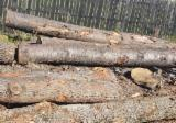 Cherry  Hardwood Logs - -- cm Cherry Saw Logs Romania