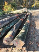 Hardwood  Logs For Sale - Peeling Logs, Beech, FSC