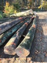 Hardwood Logs For Sale - Register And Contact Companies - Peeling Logs, Beech, FSC