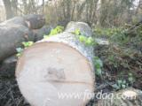 Hardwood Logs importers and buyers - Need White Ash Logs 40+ cm