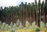 Portugal - Fordaq Online market - Eucalyptus Globulus Logs, 10