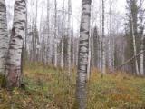 Ліс На Корню - Росія, Береза