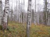 Mature Trees For Sale - Buy Or Sell Standing Timber On Fordaq - Birch Standing Timber Башкортостан, Russia.