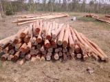 Forest And Logs South America - 8+ cm Eucalyptus Saw Logs from Brazil
