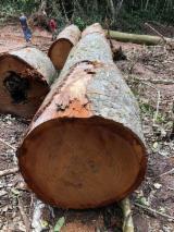 Schnittholzstämme, Sapelli