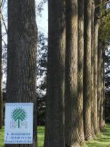Hardhoutstammen Te Koop - Registreer En Contacteer Bedrijven - Schilfineerstammen, Populier