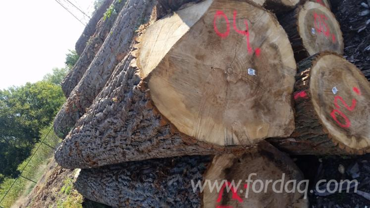 Fresh Cut Poplar Logs - Robusta Variety