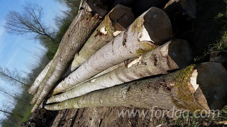 Fresh Cut Poplar Logs - New Generation Variety