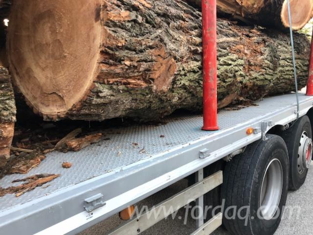 European-Elm-Loose