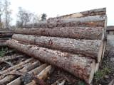 Softwood  Unedged Timber - Flitches - Boules - Douglas Fir Loose 24-100 mm Franken Germany