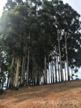 Find best timber supplies on Fordaq - Offshore Procurement Specialists - Rosegum Eucalyptus Grandis Ready to Cut and Ship