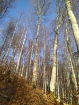 Standing Timber - Beech Standing Timber from Romania