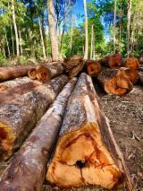 Hardwood Logs for sale. Wholesale Hardwood Logs exporters - 70 CM + mm Basralocus Saw Logs Spain