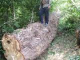 森林及原木 需求 - 锯木, 黑杨树