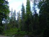 See Woodlands For Sale Worldwide. Buy Directly From Forest Owners - Fir Woodland from Romania 11.9 ha