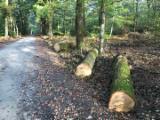 Forest and Logs - Fresh Cut White Oak Logs