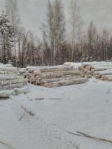 Satılık Olgun Ağaçlar – Fordaq Üzerinden Dikili Ağaç Alın Satın - Rusya, Huş Ağacı