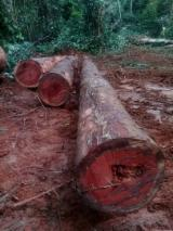 Find best timber supplies on Fordaq - Ets Ewen International  - Okan and Padouk Logs.