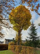 Standing Timber - Linden tree, 8 meter long