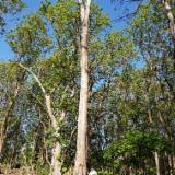 Trova le migliori forniture di legname su Fordaq - Compro Segati Refilati Teak 27 mm