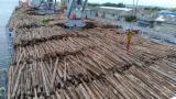 Elliotis Pine 20+ cm Saw Logs From Brazil.