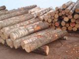 Find best timber supplies on Fordaq - Albionus SIA - Saw Logs / Birch Logs.