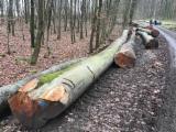 Find best timber supplies on Fordaq - Timtrade Sarl - Sell BEECH Logs