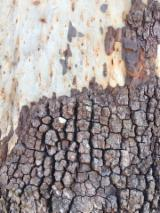 Australian Native Moreton Bay Ash