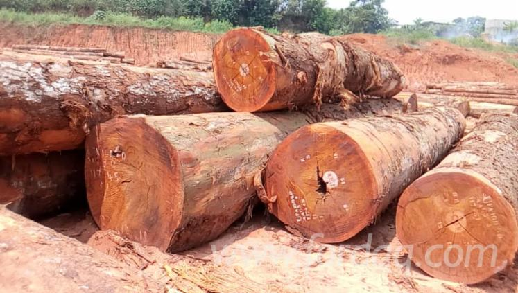 Wholesale A/B (first) 80 + cm Tali Saw Logs from Cameroon