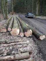 Softwood Logs Suppliers and Buyers - Grand Fir 25-57 cm BC - Sägeholz Saw Logs from Germany