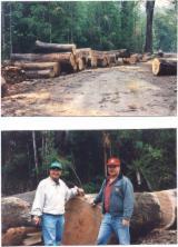 查看全球待售林地。直接从林场主采购。 - 智利, 毛榉(智利榉木,智利黑樱桃)