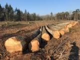 Find best timber supplies on Fordaq - BNE (BOIS NEGOCE ENERGIE) - 41 cm Turkish Oak Saw Logs from France, Angers
